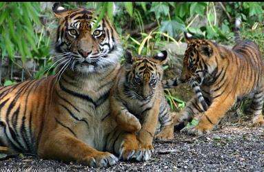 http://www.tamby.info/predskazaniya/images/2010/tigr3.jpg